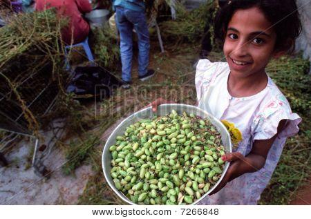 Hummus Harvest