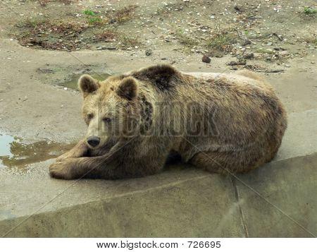 Brown Bear Resting