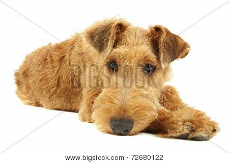 Dog Irish Terrier