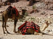 Two camels in the desert near the ancient city of Perta poster
