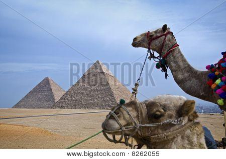 camels at Pyramids, at Egypt