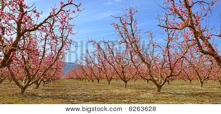 Orchard of Peaches