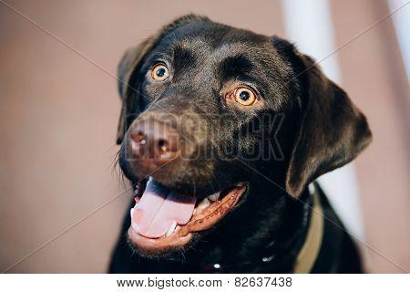 Chocolate Labrador Close Up Head