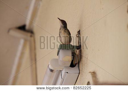 Buff-breasted Babbler