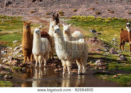 Llama in Argentina
