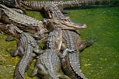 Alligators all in a bunch at an Alligator farm. poster