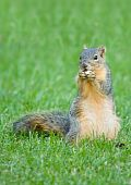 Cute squirrel feeding on a nut while sitting in the grass poster