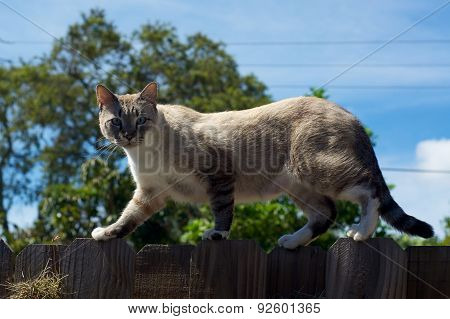 Wild Cat On Fence Looking At Viewer