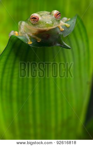 tropical glass frog from Amazon rain forest, Hyalinobatrachium Iaspidiense. Beautiful exotic animal from rainforest with a transparent belly and beautiful eyes