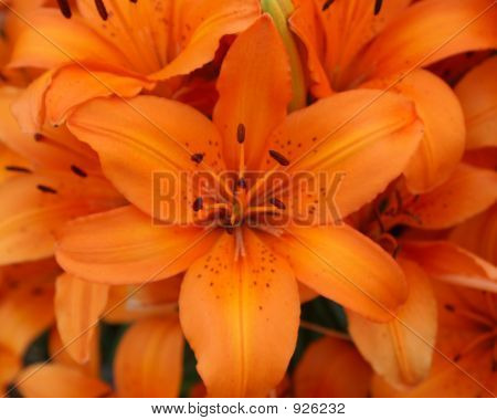 Colorful_Lilies