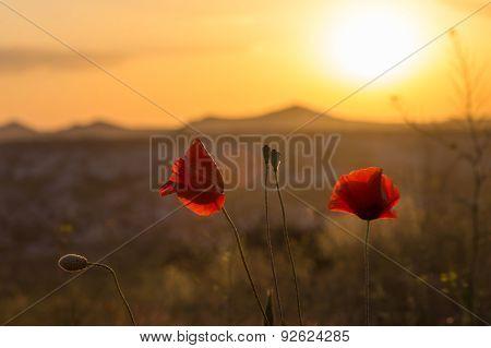 Poppy Flower At Cappadocia, Turkey