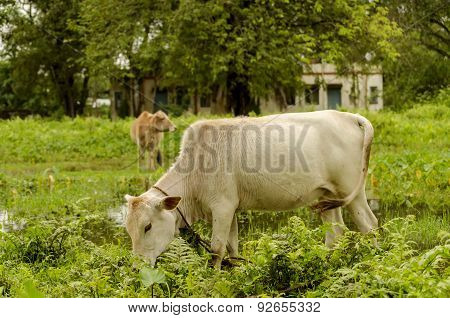 cattle gerazing in an open grass field