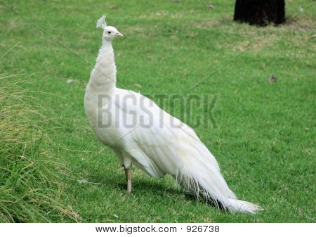 Indian Blue Peacock (White Variety)