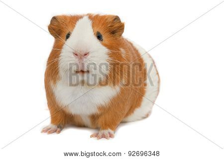 guinea pig over white background isolated