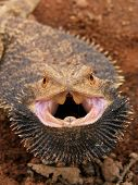 angry bearded dragon ion the sturt desert of outback australia poster