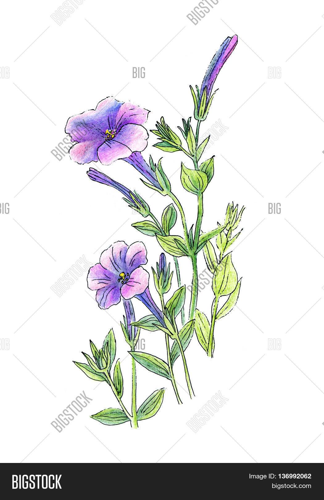 Beautiful Petunia Image & Photo (Free Trial) | Bigstock