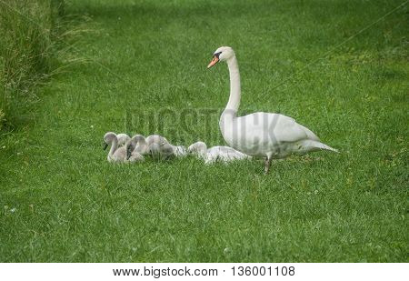 A view of happy family of swans near the old bench on the grass