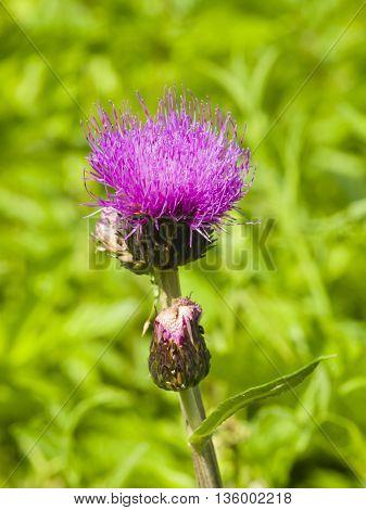 Melancholy thistle Cirsium heterophyllum flower macro selective focus shallow DOF
