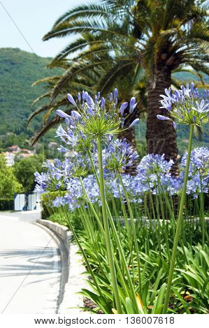 Southern landscape with palm trees and flowers Agapanthus