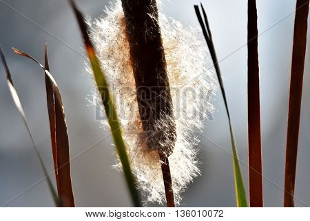 Close up of blooming reed grass in bright sunlight