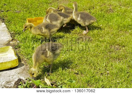 little yellow ducklings on a meadow walk on the green grass