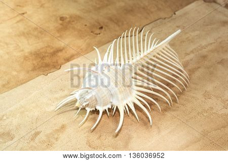 Venus Comb murex shell on old paper