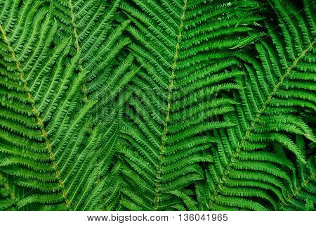 Fern leaves as a background. Background of fern.