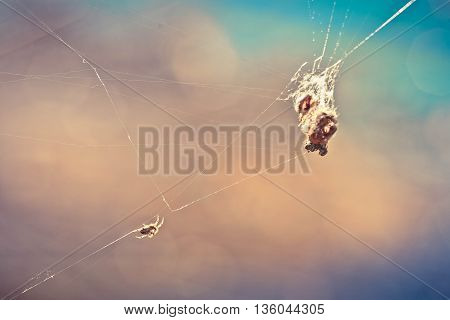 spider on web, spider victim, spider photo, spider background, spider hunt, wildlife photo, spider catch, macro photo, hunter web