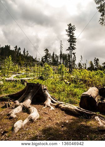 Windfall in coniferous forest after strong devastating strom