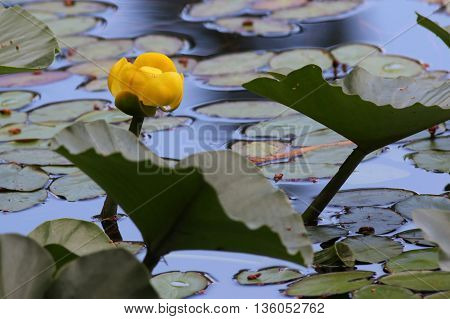 A Yellow Water-lily flower (Nuphar lutea) on a pond