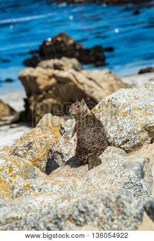 Squirrel at 17 Mile Drive in Pebble Beach California.
