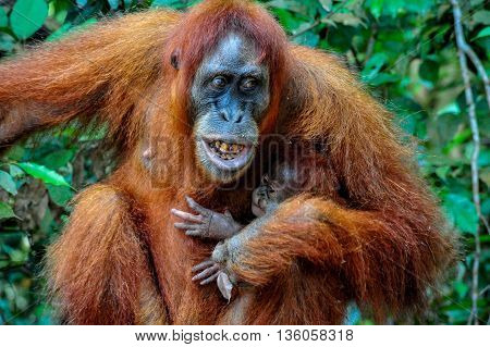 A Mother Sumatran Orangutan with her baby showing her teeth with anger to her male in Bukit Lawang Rainforest of Indonesia
