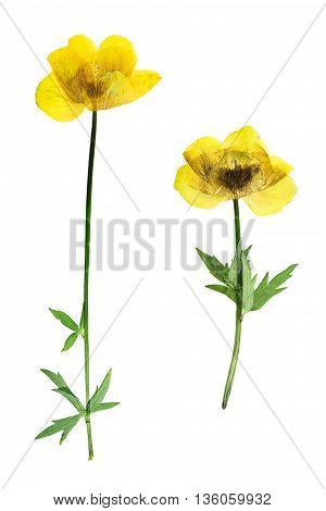 Pressed and dried flower trollius europaeus. Isolated on white background. For use in scrapbooking pressed floristry (oshibana) or herbarium.