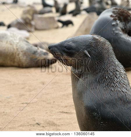 Portrait Of The Cape Fur Seal, Namibia