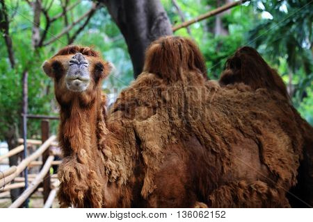 Camel Look And Smile