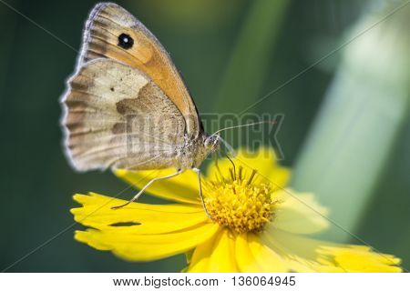 The butterfly has sat down on a yellow flower and collects pollen