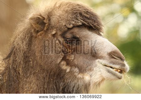 close up of a Bactrian Camel head