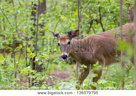 Juvenile whitetail deer (Odocoileus virginianus) eating leaves in forest