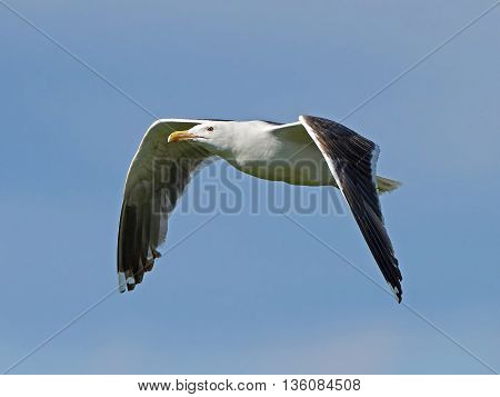 Great black-backed gull (Larus marinus) in flight with blue skies in the background