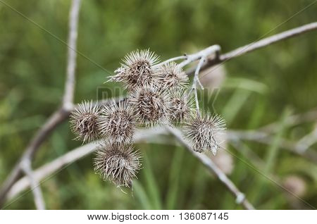 dry thistle blossoms and flowers on a green meadow in summer