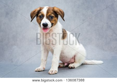 Small spotted puppy with his tongue hanging out