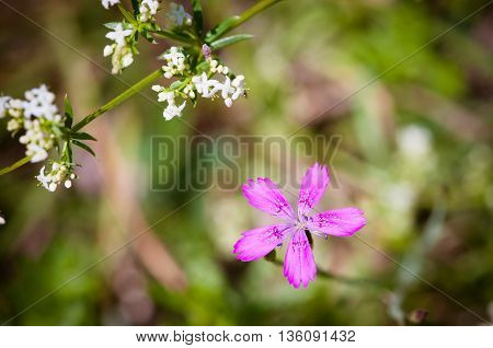 Beautiful small fragrant flowers bright purple-pink wild carnation in the garden on a summer morning