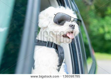 Small dog maltese in a car with open window. Dog wears a special dog car harness to keep him safe when he travels.