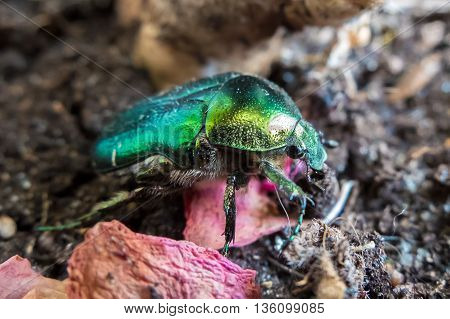 Beetle Chafer green golden macro, listed in the Red book. Brantovka (Cetoniinae) are a subfamily of beetles belonging to the scarab family (Scarabaeidae). Chafer green  the scarab. Rare flying insect.
