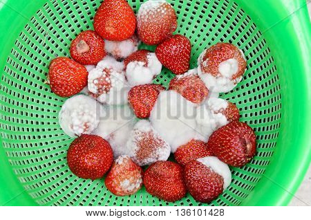 Bright, red strawberries covered by white mold. Spoiled, rotten berries