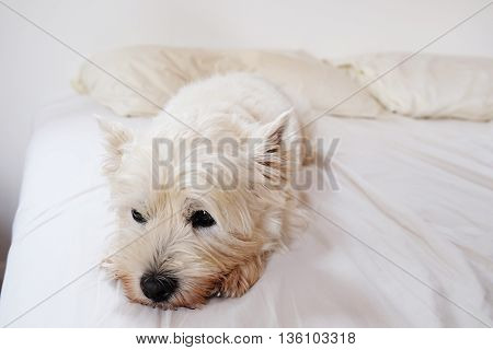 West highland white terrier westi dog looking dreamy and sleepy on a messy white bed.