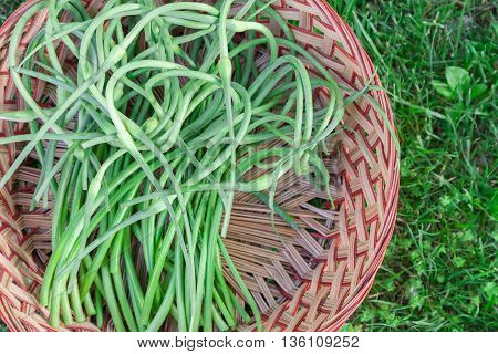 A large basket filled with freshly harvested garlic scapes.
