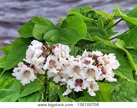 Hawthorn flowers in Port Dalhousie on shore of Lake Ontario 26 June 21016 Canada