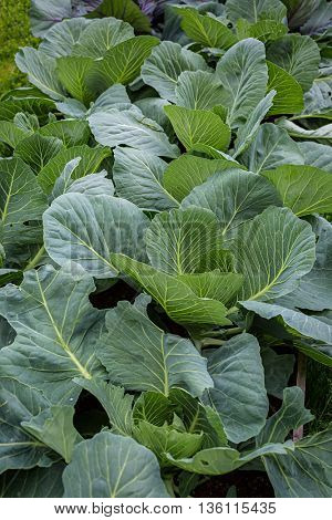 Cabbage plants in the home garden or farm field.