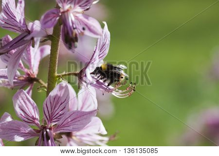 a bumble bee pollinating a  burning bush poster